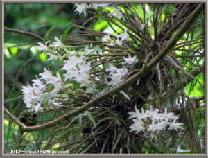 Jun02_38_MtTakao_Dendrobium_moniliformeRC