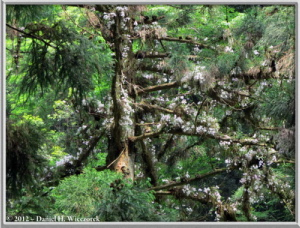 Jun02_39_MtTakao_Dendrobium_moniliformeRC