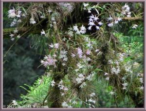 Jun02_42_MtTakao_Dendrobium_moniliformeRC