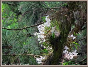 Jun02_47_MtTakao_Dendrobium_moniliformeRC
