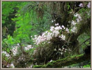 Jun02_50_MtTakao_Dendrobium_moniliformeRC