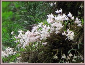 Jun02_51_MtTakao_Dendrobium_moniliformeRC