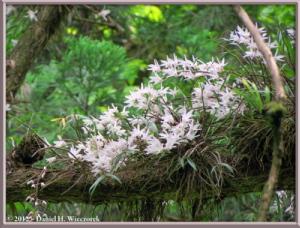 Jun02_65_MtTakao_Dendrobium_moniliformeRC