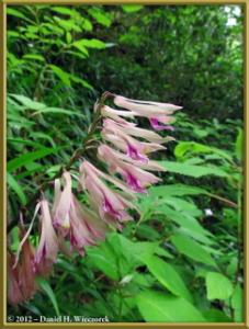 Jun02_71_MtTakao_Cremastra_appendiculataRC