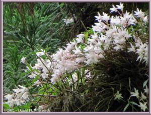 Jun02_81_MtTakao_Dendrobium_moniliformeRC