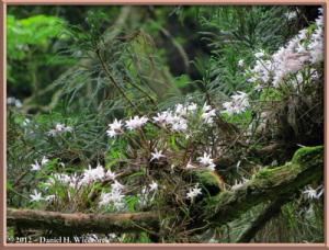 Jun02_82_MtTakao_Dendrobium_moniliformeRC
