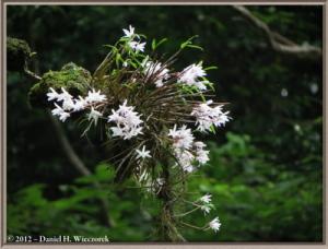 Jun02_91_MtTakao_Dendrobium_moniliformeRC
