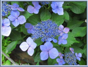 Jun24_08_HonDoTemple_HydrangeaRC