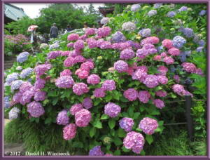Jun24_14_HonDoTemple_HydrangeaRC