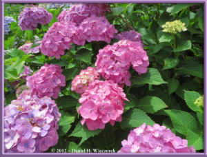 Jun24_15_HonDoTemple_HydrangeaRC