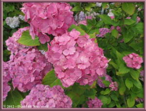 Jun24_42_HonDoTemple_HydrangeaRC