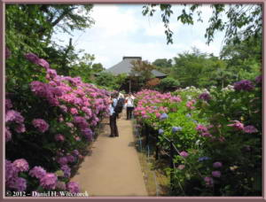 Jun24_65_HonDoTemple_HydrangeaRC