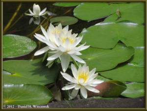 Jun24_73_HonDoTemple_WaterLilyRC
