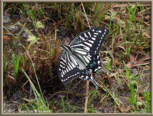 June01_37_NogawaPk_White_Swallowtail_ButterflyRC