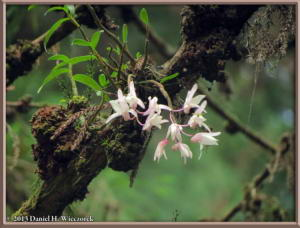 Jun02_101_MtTakao_Dendrobium_moniliformeRC