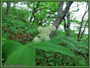 Jun08_31_MtKurotake_Smilacina_japonicaRC