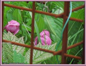 Jun09_94_MtMitsutougeClimb_Cypripedium_macranthum_var_speciosumRC