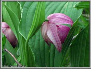 Jun09_98_MtMitsutougeClimb_Cypripedium_macranthum_var_speciosumRC