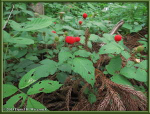 June01_72_MinamiTakao_Kobotoke_Rubus_hirsutusRC