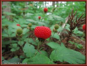 June01_73_MinamiTakao_Kobotoke_Rubus_hirsutusRC