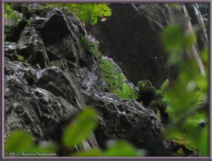 TN_June16th_KoizawaButtress023Fr_OrchisGraminifoliaRC