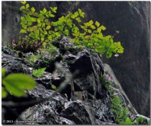 TN_June16th_KoizawaButtress034Crop_OrchisGraminifoliaRC