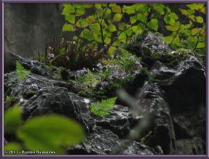 TN_June16th_KoizawaButtress035_OrchisGraminifoliaRC