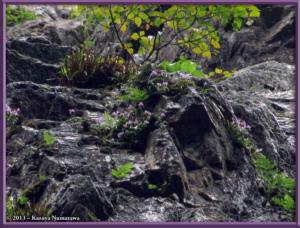 TN_June16th_KoizawaButtress046PSTM_OrchisGraminifoliaRC