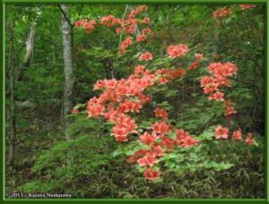 June8th_MtKurotake011_RhododendronKaempferiRC