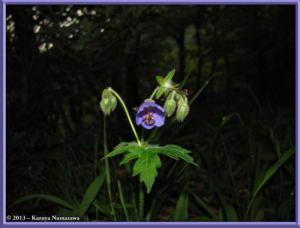 June8th_MtKurotake022_GeraniumEriostemonVarReiniiFOnoeiRC