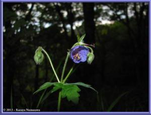 June8th_MtKurotake023_GeraniumEriostemonVarReiniiFOnoeiRC