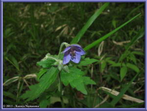 June8th_MtKurotake116_GeraniumEriostemonVarReiniiFOnoeiRC