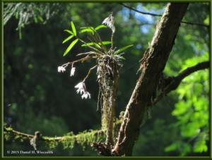 May30_17_Takao_Dendrobium_moniliformeRC