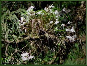 May30_19_Takao_Dendrobium_moniliformeRC