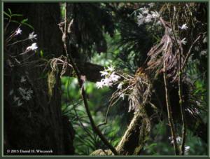 May30_20_Takao_Dendrobium_moniliformeRC