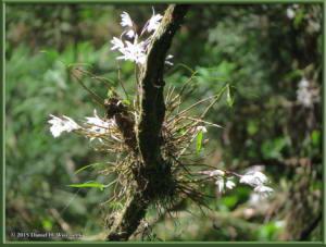 May30_21_Takao_Dendrobium_moniliformeRC