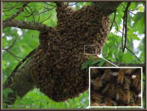 May24_1Sm_Steve_House_Bee_SwarmRC