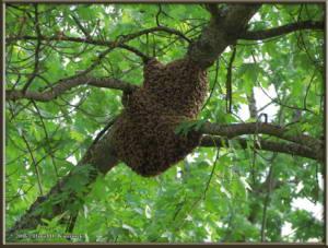 May24_3_Steve_House_Bee_SwarmRC