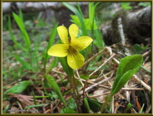 May25_53_DiamondLakeRD_Viola_orbiculataRC