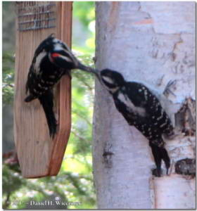 Jun13_145_HairyWoodpecker_YoungRC