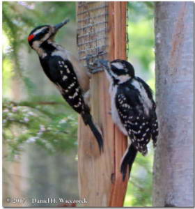 Jun13_146_HairyWoodpecker_YoungRC