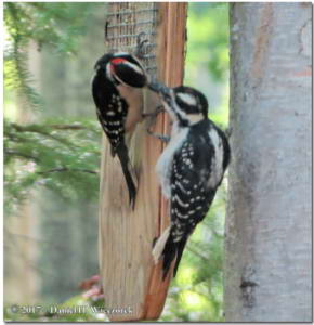 Jun13_150_HairyWoodpecker_YoungRC