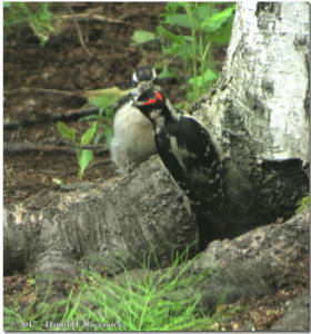 June18_11_HairyWoodpecker_HomeRC