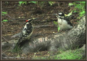 June18_16_HairyWoodpecker_HomeRC