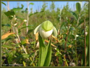 June20_05_NearCentral_Cypripedium_passerinumRC