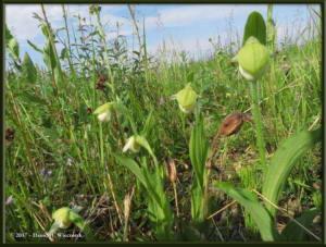 June20_30_NearCentral_Cypripedium_passerinumRC