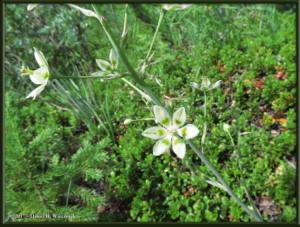 June26_40_Anticlea_elegansRC