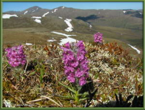 June5th_182_EagleSummit_PedicularisLanataRC