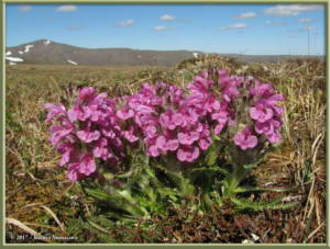 June5th_201_EagleSummit_PedicularisLanataRC