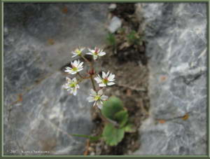 May29th_287_GrapefruitRocks_SaxifragaReflexaRC